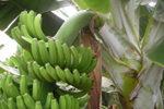banana-canaria