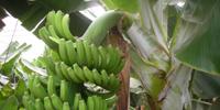 banana-canarias