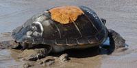 tartaruga-puertito-adeje-1