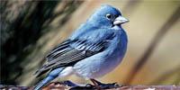 pinzon-azul-tmb
